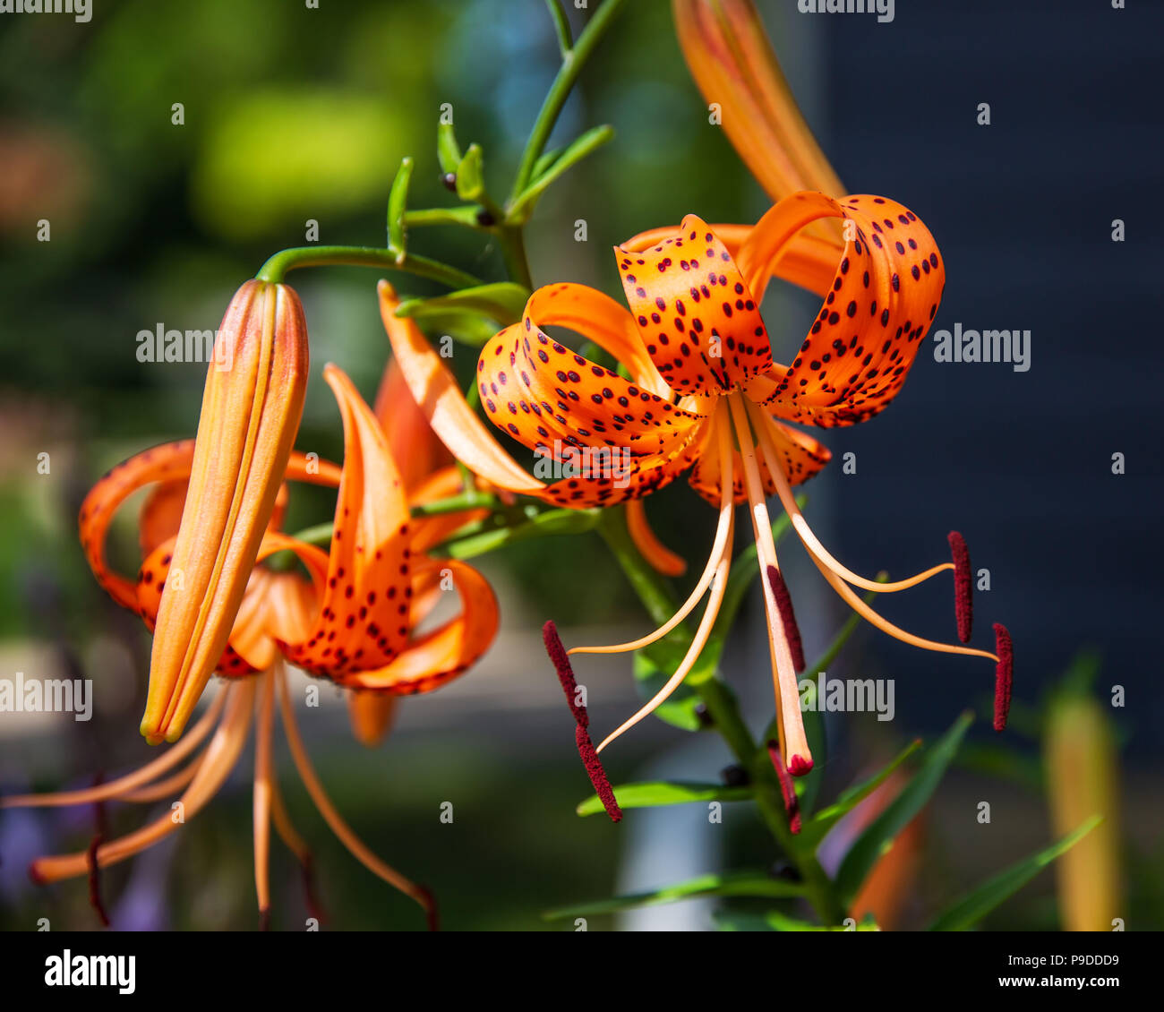 Close up of tiger lily flowers in a garden stock photos close up a close up of a tiger lily in the garden stock image izmirmasajfo