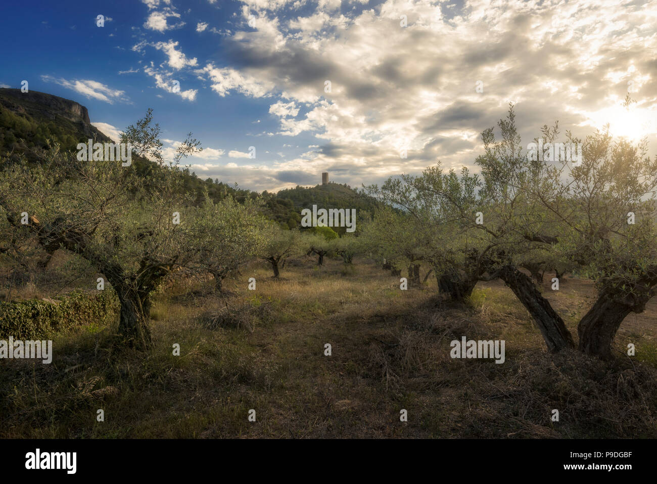 Olive trees in La Vall d'Almonacid (Castellon - Spain) - Stock Image