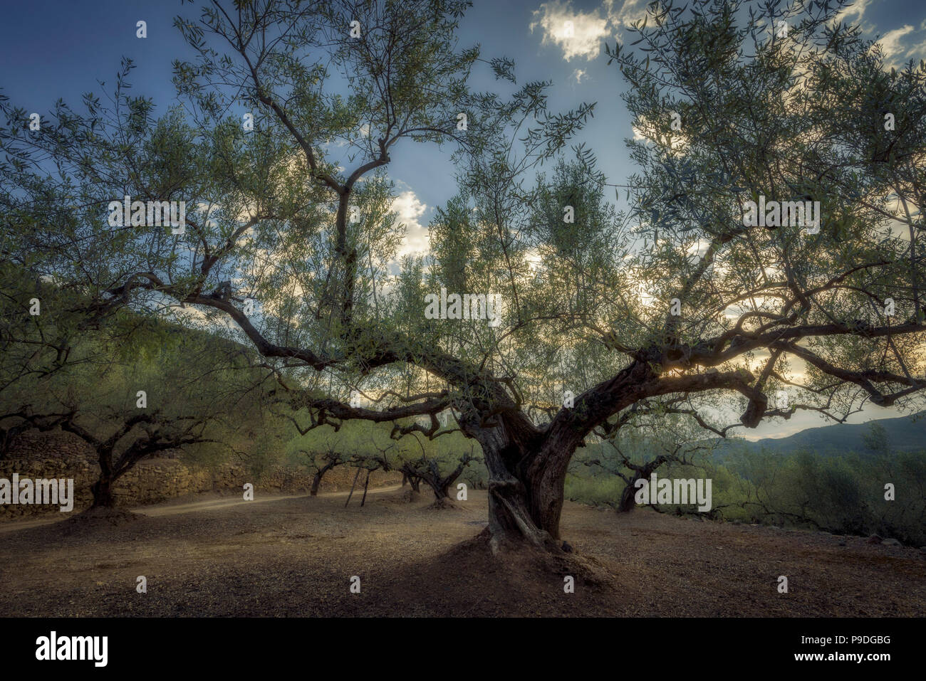 Olive trees in La Vall d'Almonacid (Castellon - Spain) Stock Photo