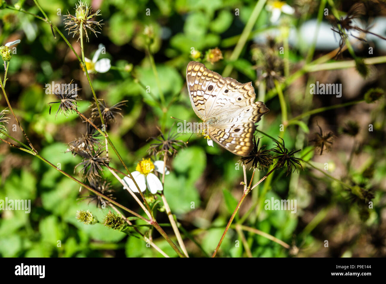 Florida Gainesville Micanopy Paynes Prairie Ecopassage Nature State Park Preserve Pontia protodice checkered white southern cabbage butterfly probosci - Stock Image