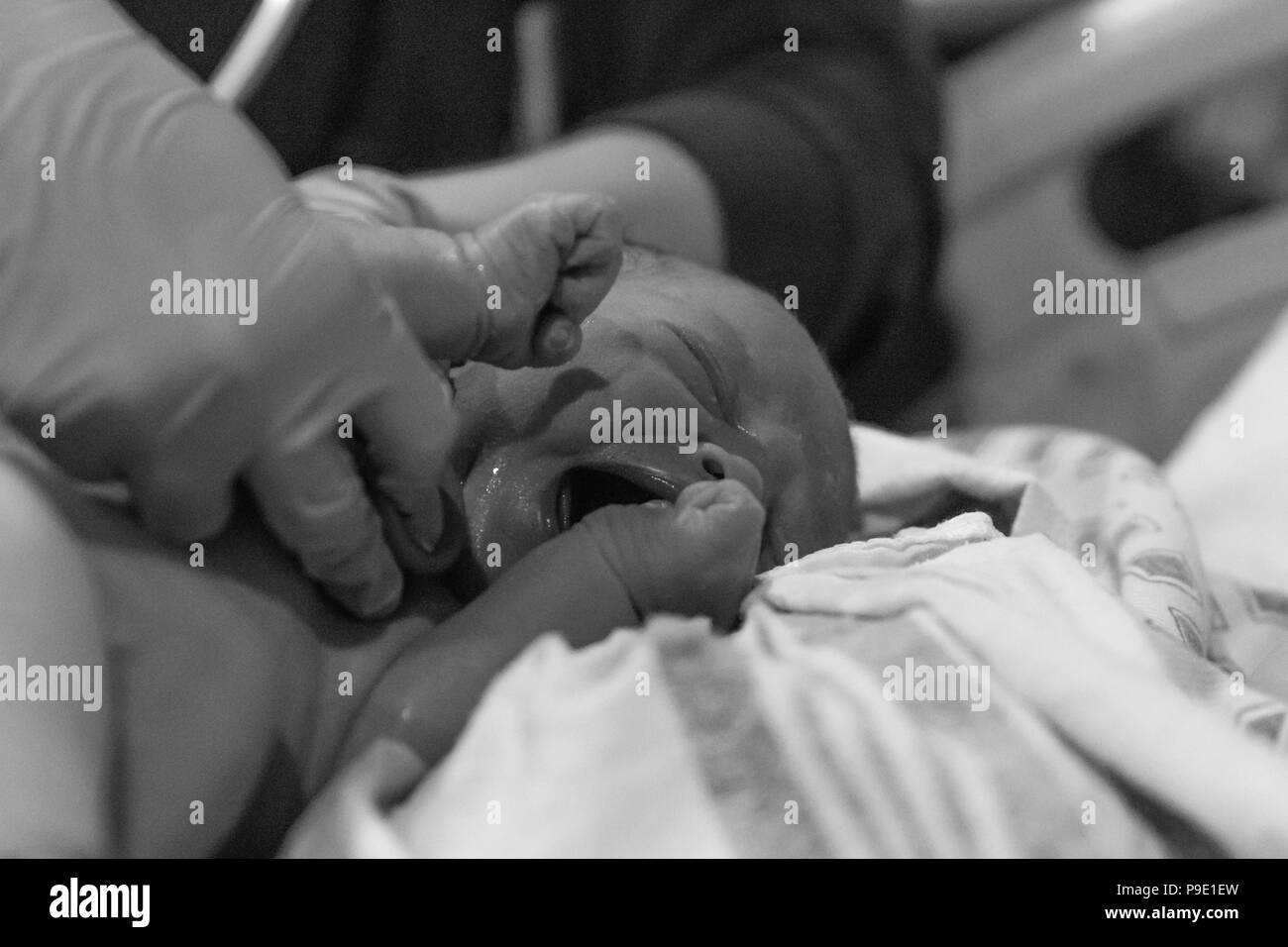 The miracle of life unfolds as Miss Kallie makes her way into the world - Stock Image