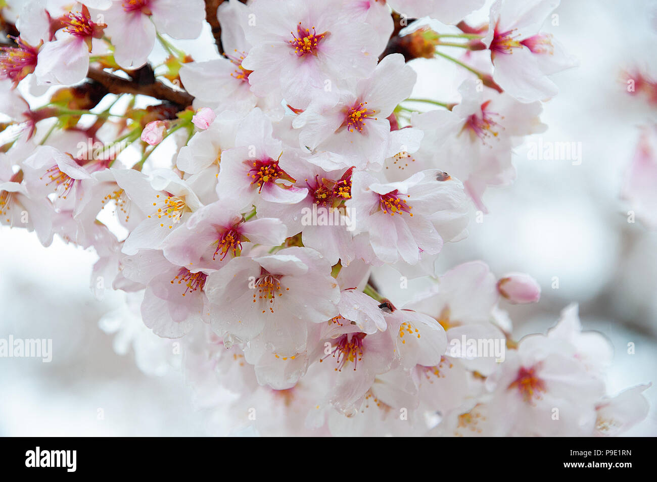 Sakura A Beautiful Japanese Cherry Blossom Blooms In April Bright