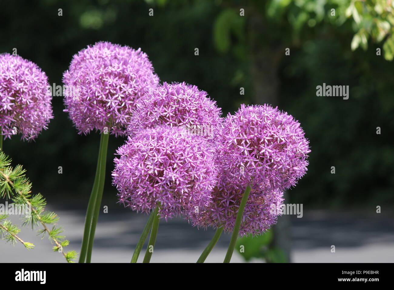 Pretty Purple Allium Flowers Growing In A Small Flower Garden In