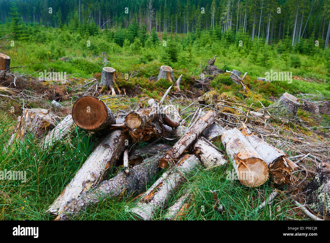 Dead and felled trees attacked by a bark beetle in a forest near the Plesne lake in the Sumava National Park (Bohemian Forest) Stock Photo