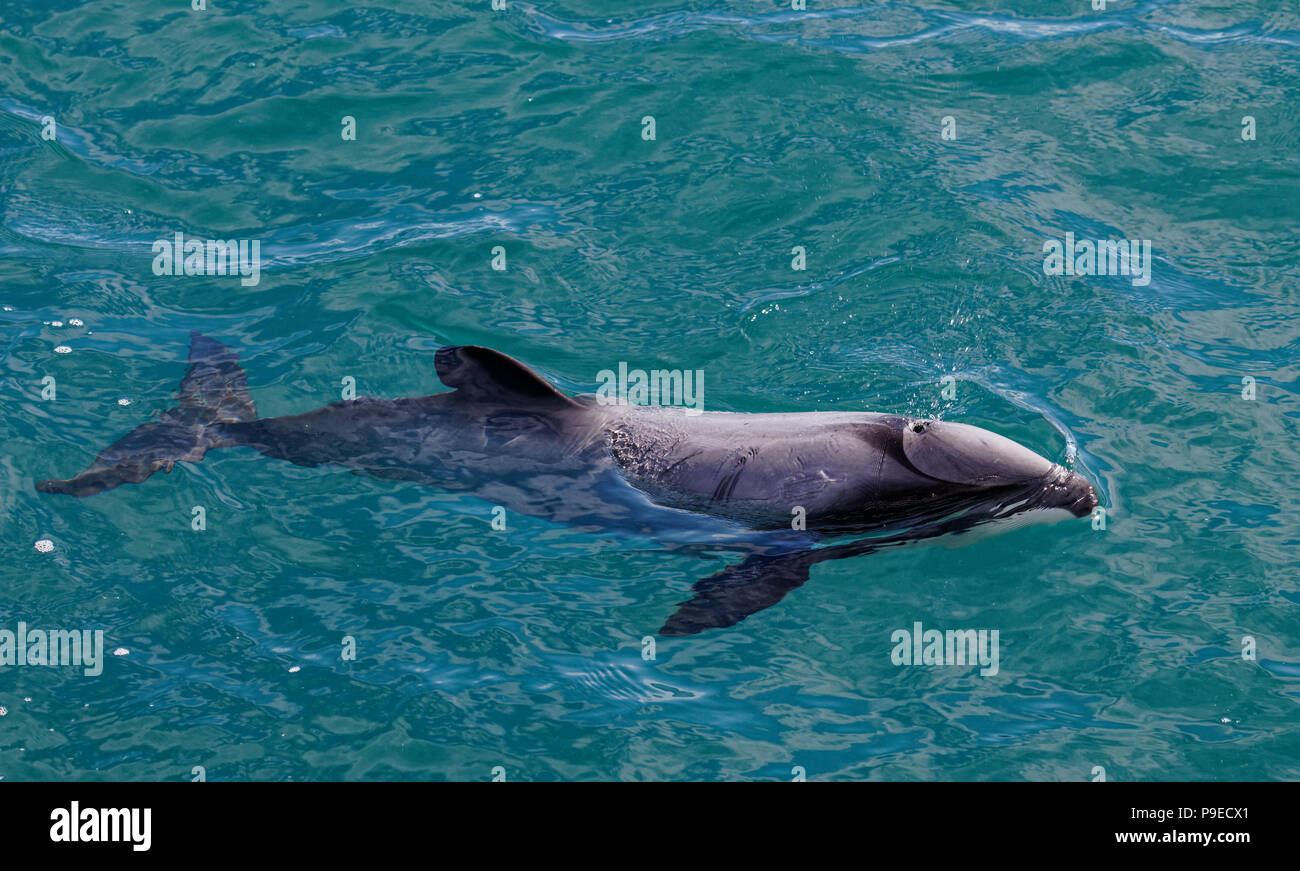 Hectors dolphin, endangered dolphin, New Zealand. Cetacean endemic to New Zealand - Stock Image