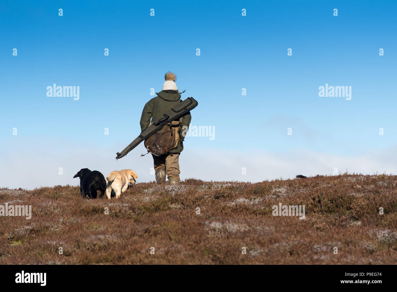 Shooting Red Grouse on an Estate in North Yorkshire, late in the season. Yorkshire Dales, UK - Stock Image