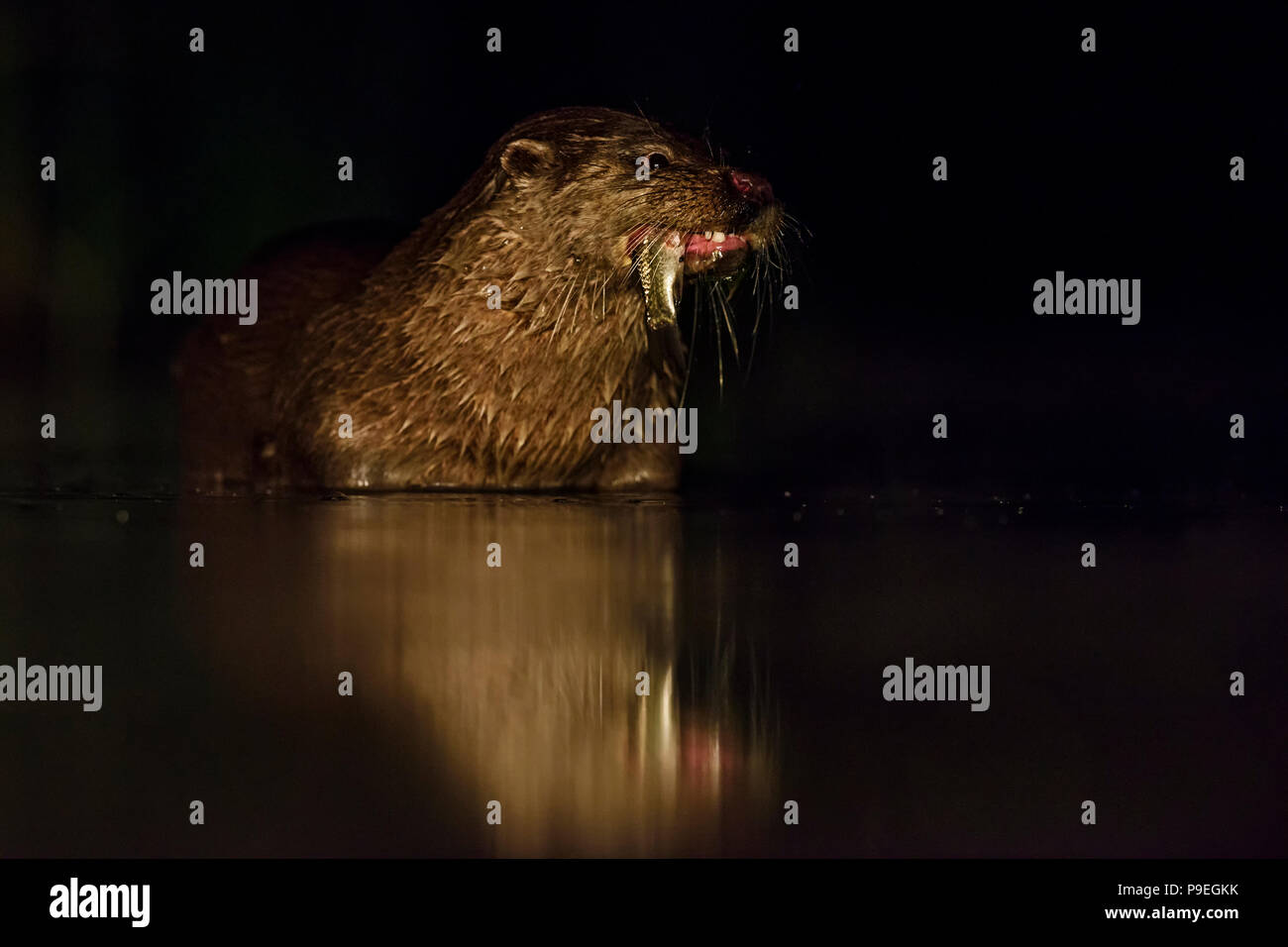 Eurasian River Otter - Lutra lutra, freswater nocturnal carnivores from European rivers. - Stock Image