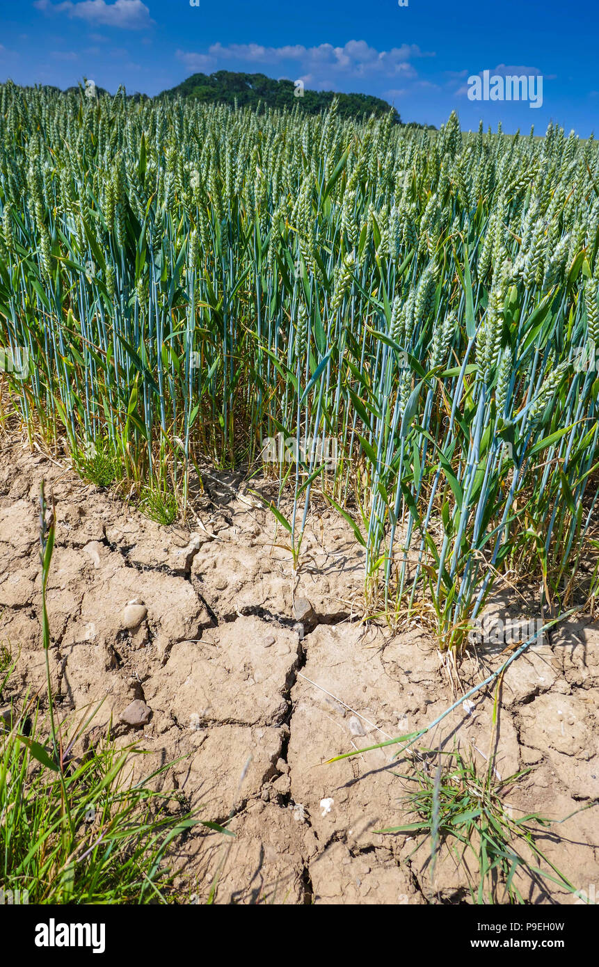 Dry cracked soil with green crops, Summer weather at Flamborough Head, Easy Yorkshire - Stock Image