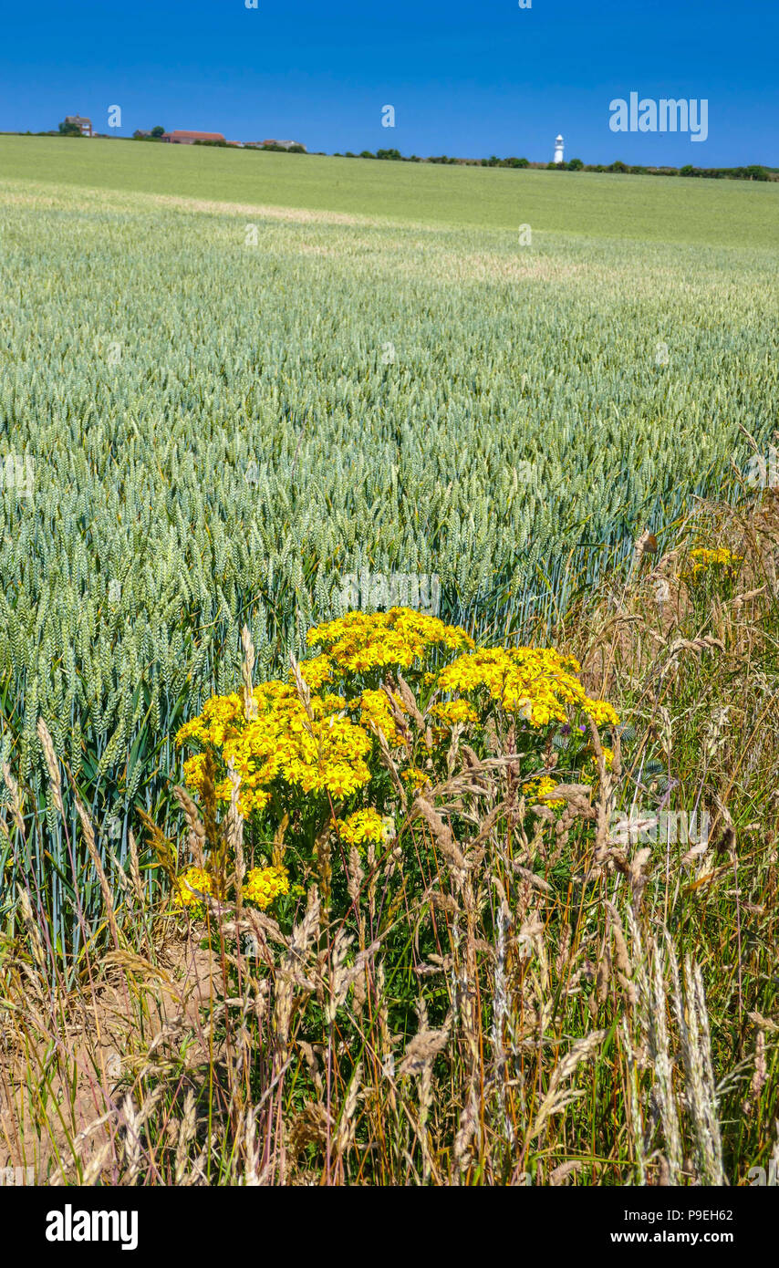 Fields Of Ripening Crops With Yellow Ragweed Plant And Summer