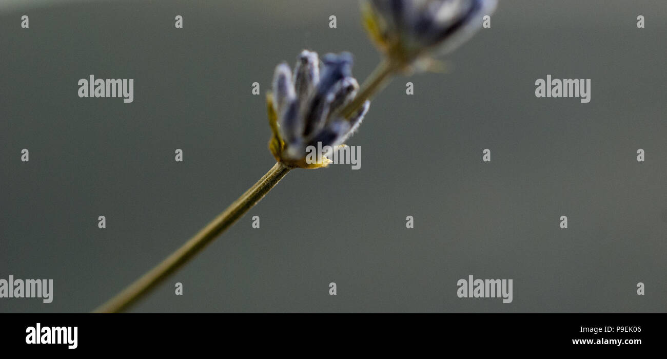 Aroma therapy. Lavender flowers on a dark background.image of a - Stock Image