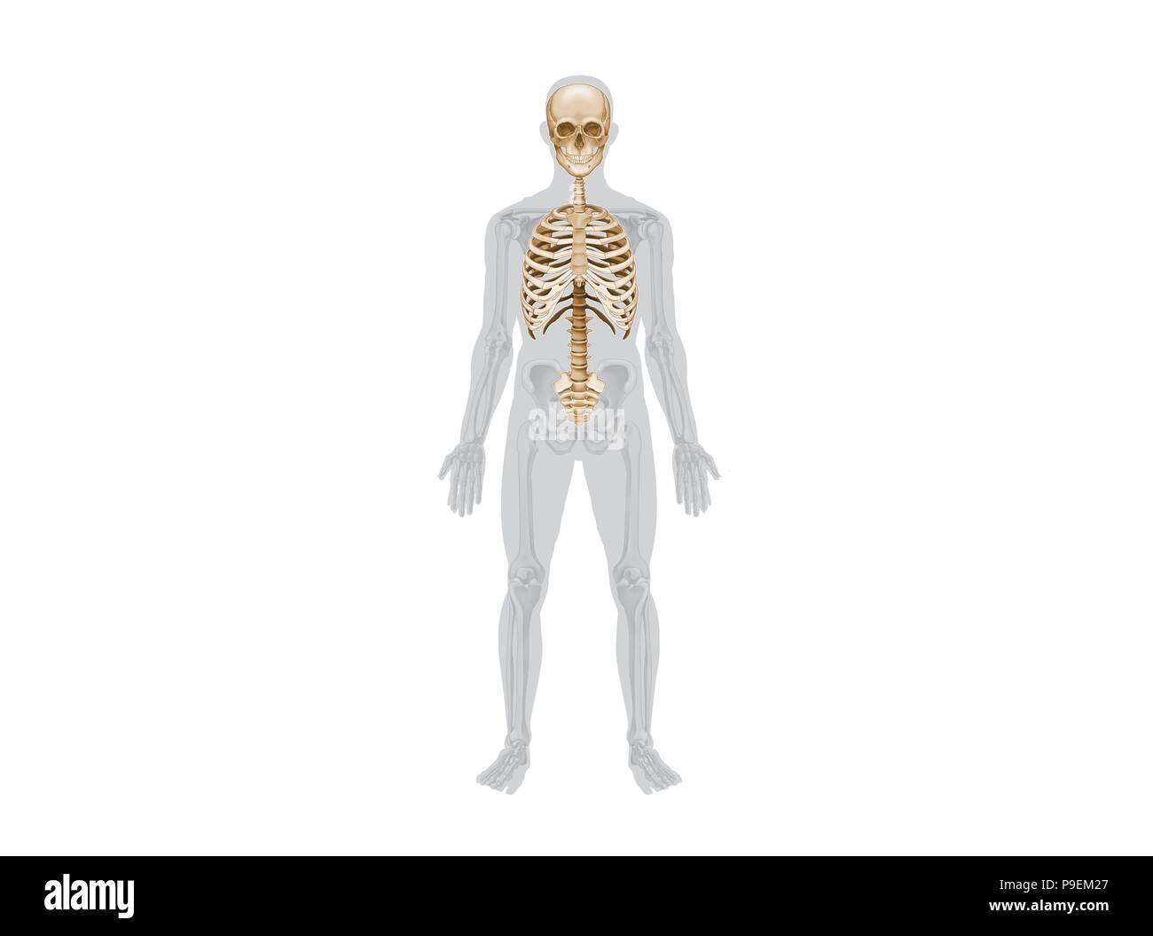 Axial skeleton Stock Photo: 212379391 - Alamy