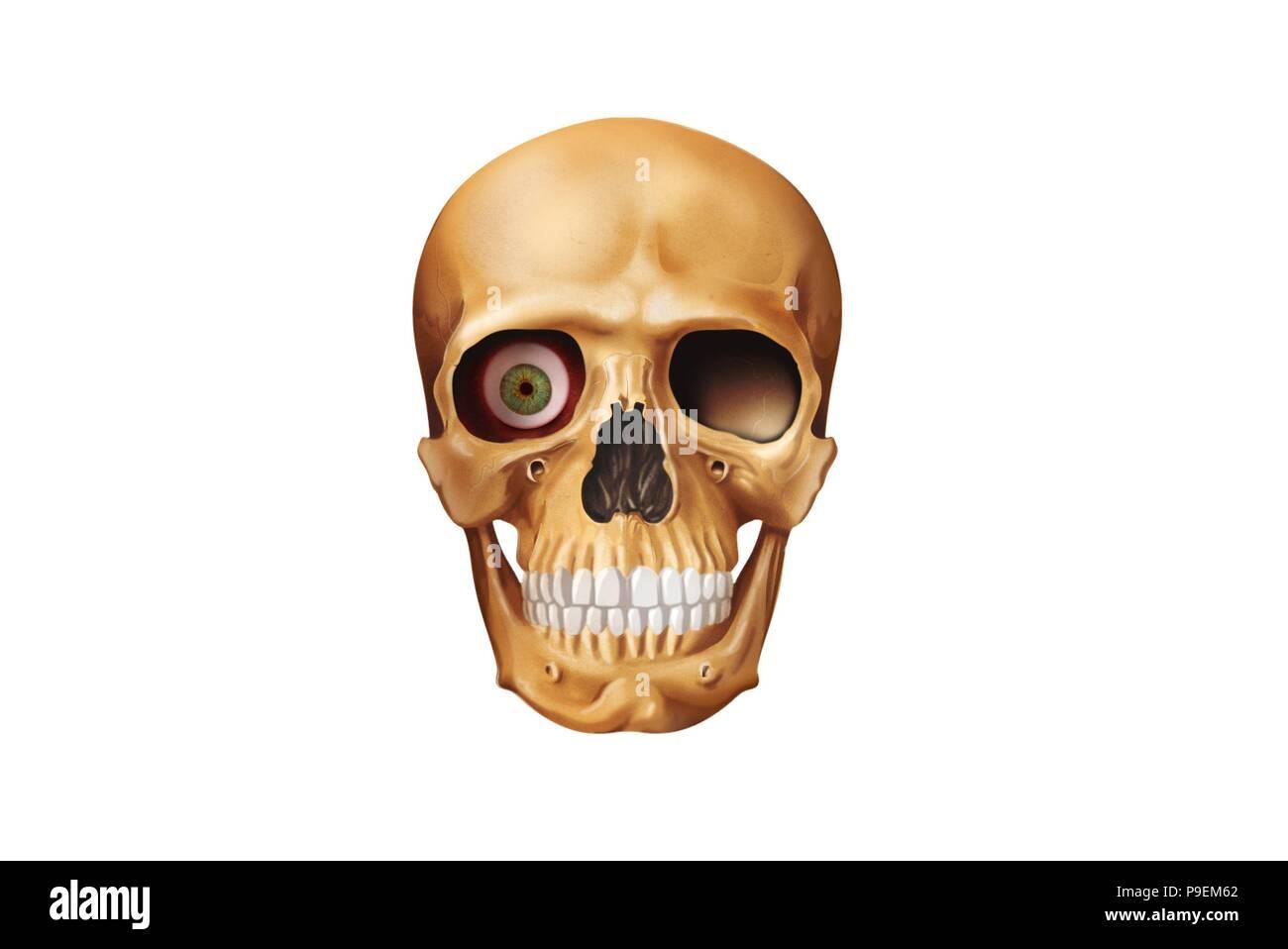Viscerocranium. Eye socket Stock Photo: 212379498 - Alamy