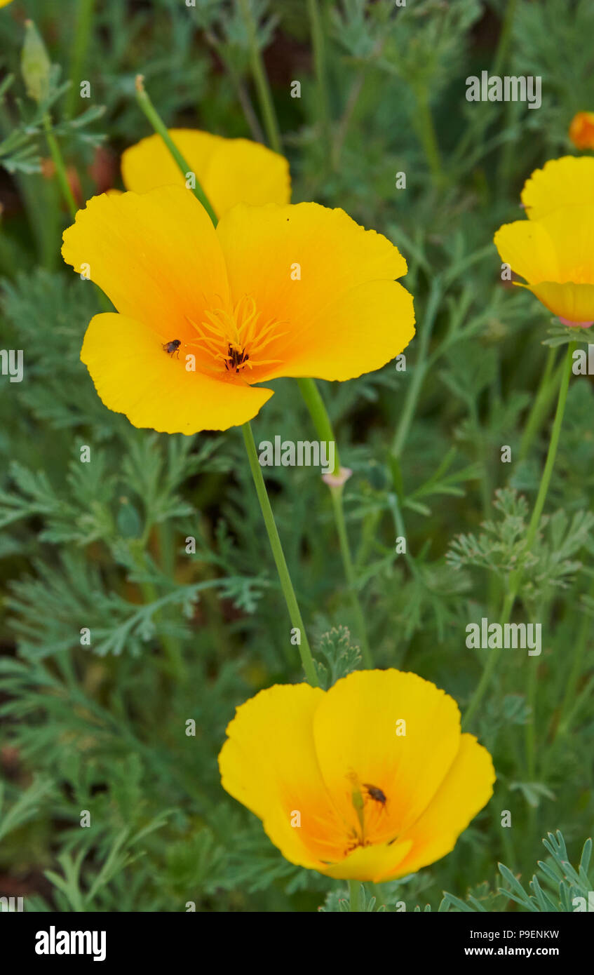 Eschscholzia californica is a vigorous bushy, spreading annual to 30cm, with finely divided blue-green leaves and orange, yellow or red flowers to 7cm - Stock Image