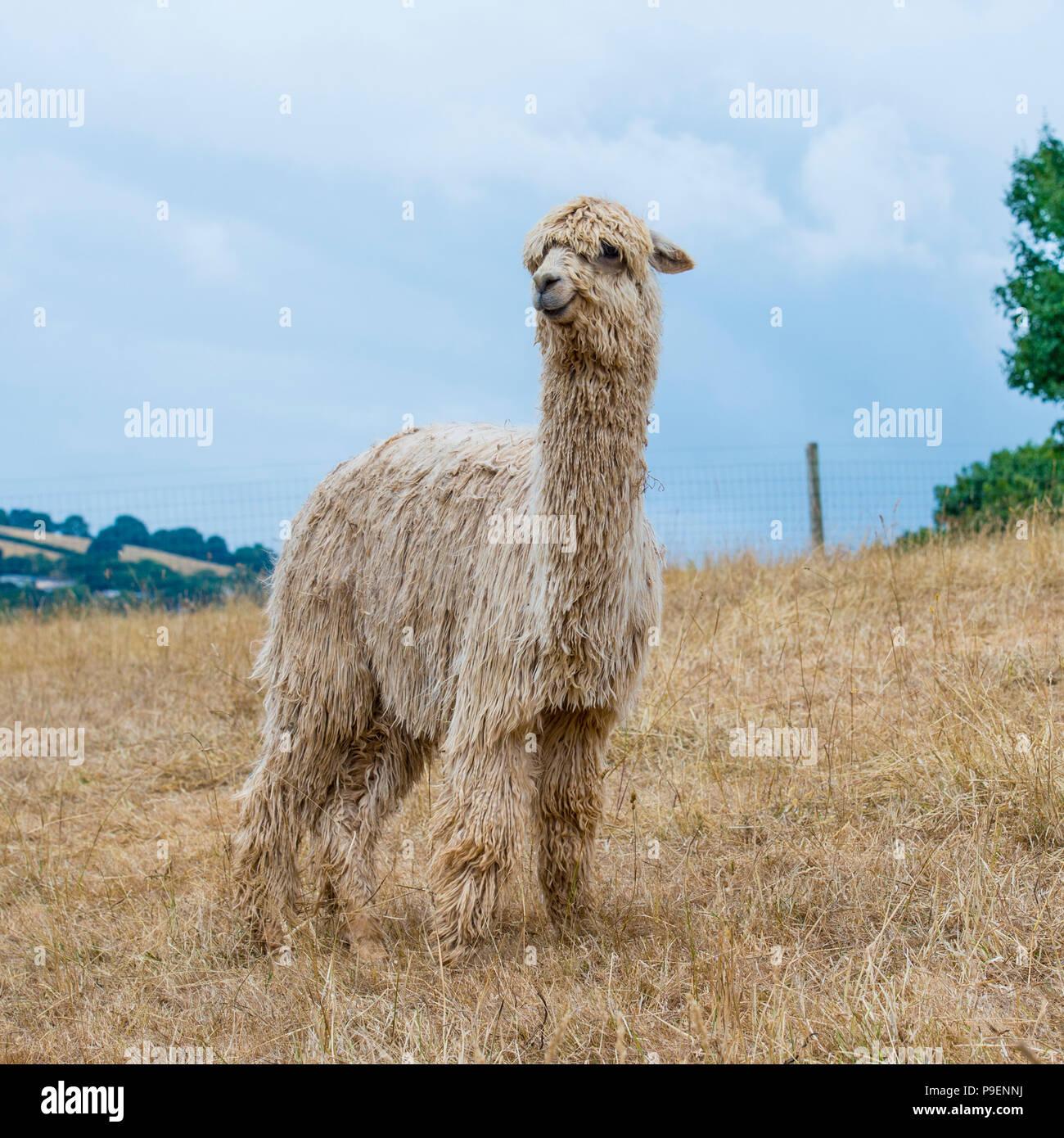 alpaca suri - Stock Image