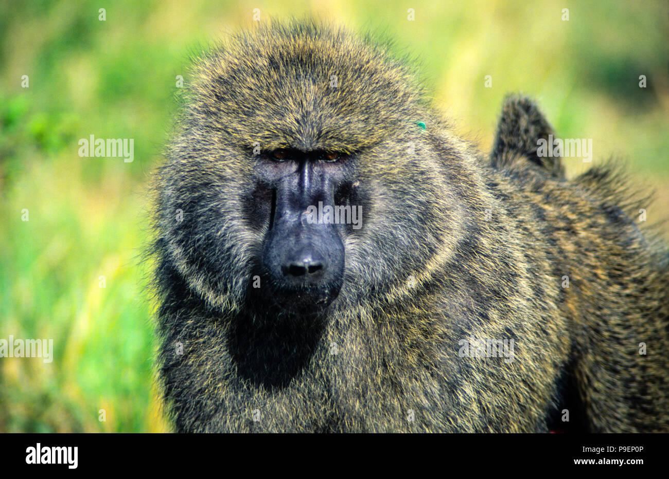 Baboon,Papio Anubis,  Maasai Mara National Park, Kenya, Africa. - Stock Image