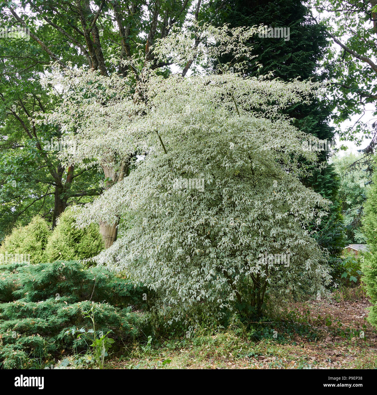 Known as the wedding-cake tree, because of its distinctive, horizontal, tiered habit, this tree makes a lovely focal point for a small to medium-sized - Stock Image