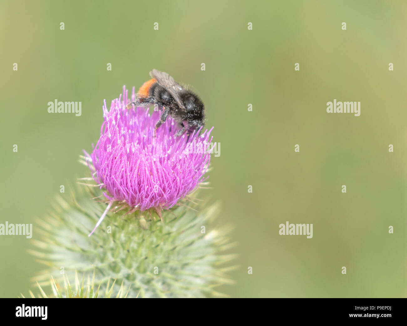 A Bombus Lapidarious bumble bee, covered in pollen, on a thistle flower. - Stock Image