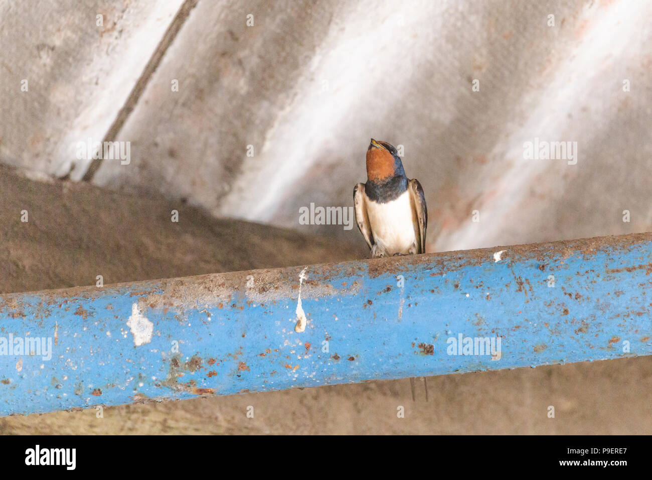 A swallow (UK) on a beam in an outbuilding. Stock Photo