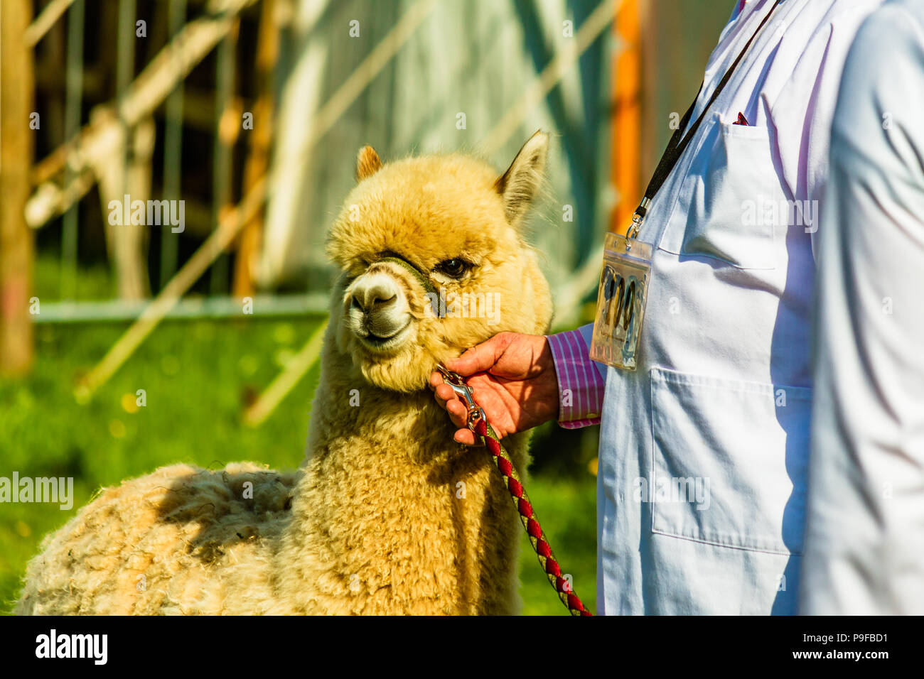 Alpaca with handler at Northumberland County Show, Stocksfield, UK. - Stock Image