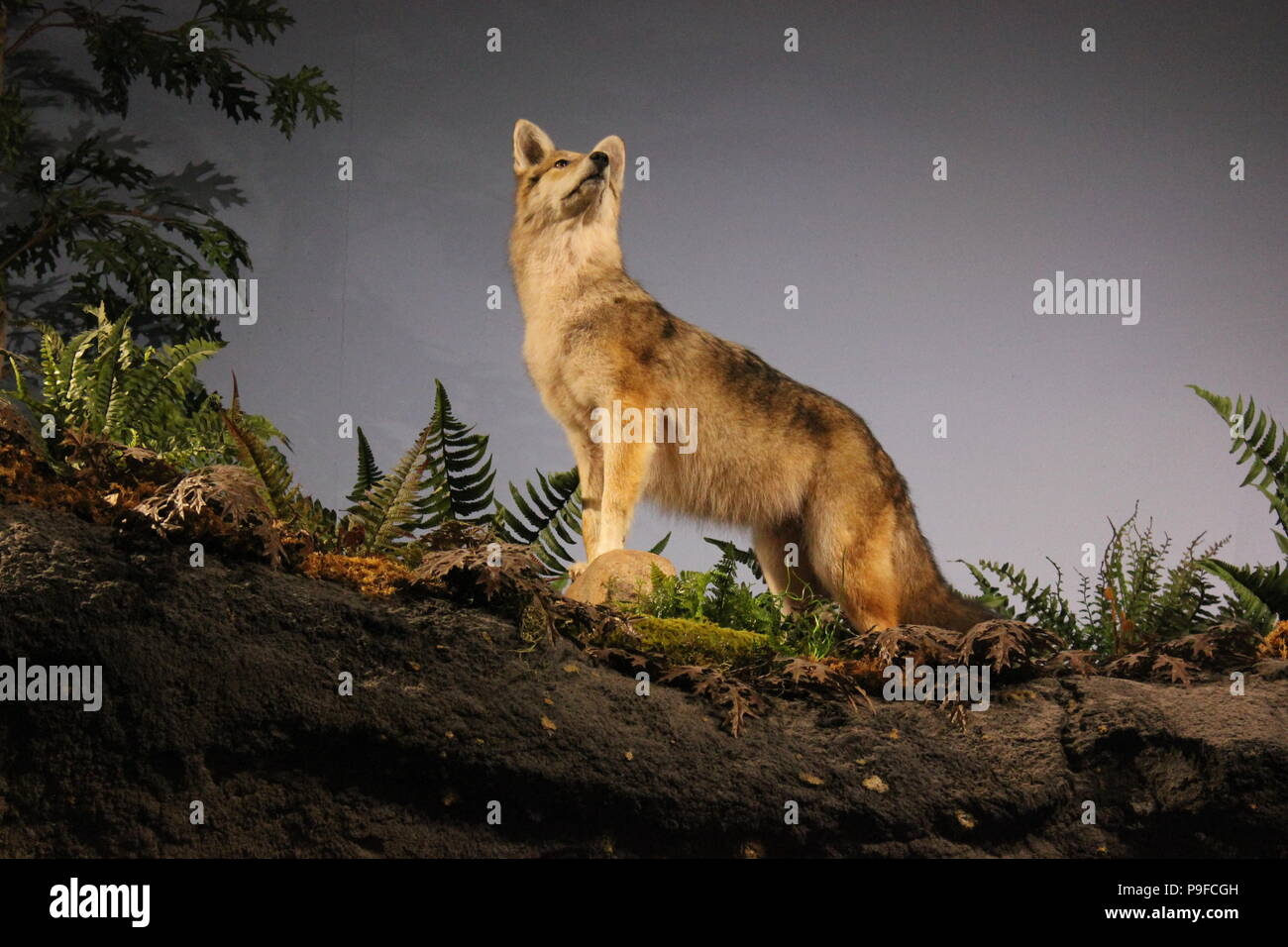Wild wolf taxidermy at the Children's Museum in Indianapolis, Indiana. Stock Photo