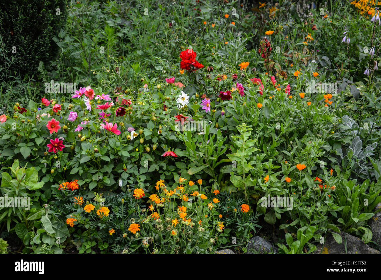 ellow, orange and red flowers on flowerbed in summer. Varicolored flowerbed.Blossoming flowerbeds in the park.Colorful  Flowerbed and Path in a garden - Stock Image