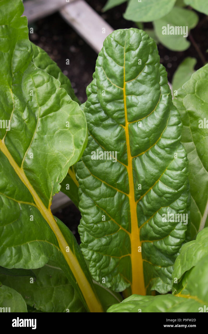 Some beautiful, healthy, yellow stalk Swiss chard growing organically in a raised bed garden - Stock Image