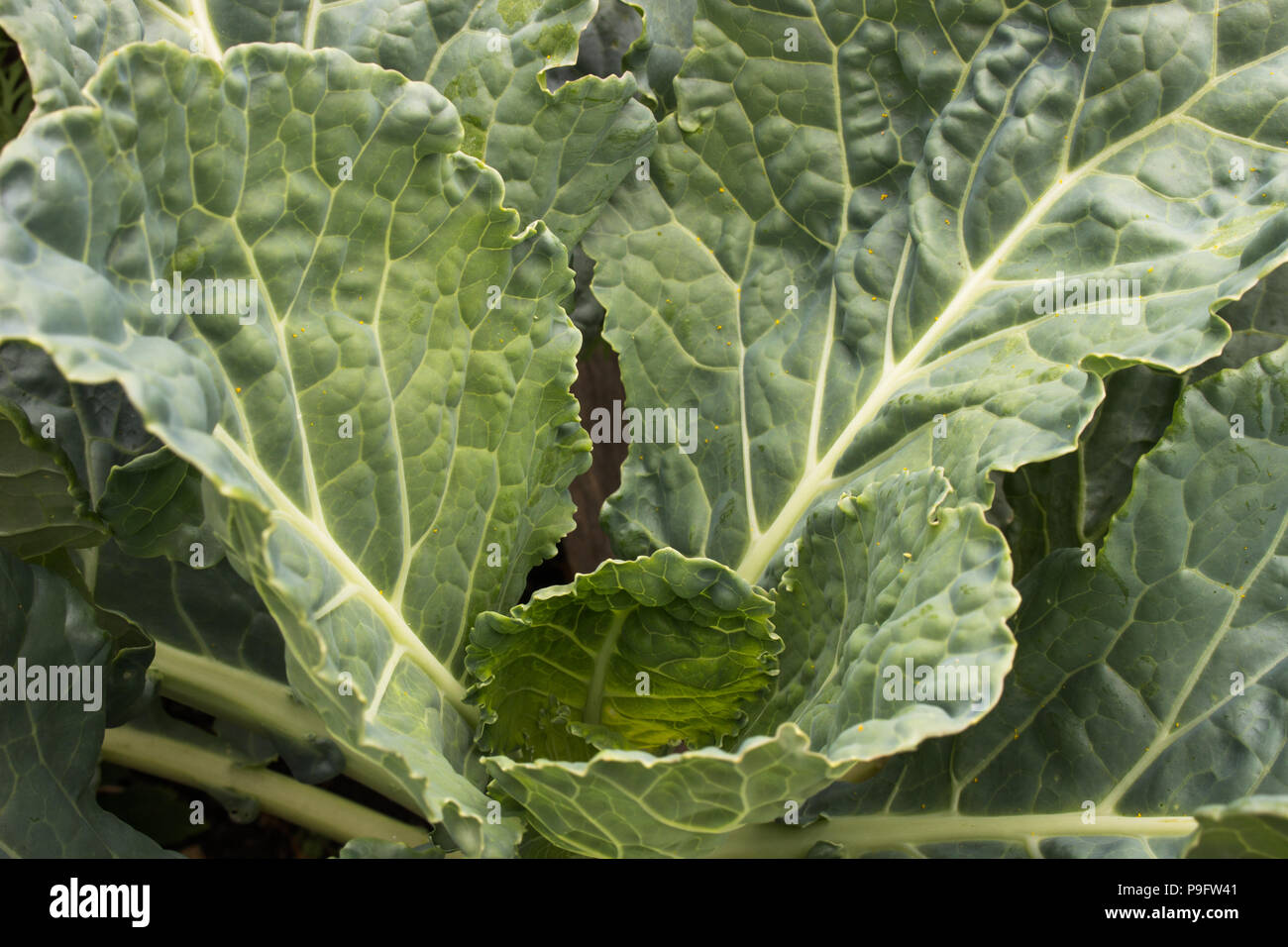 Big, healthy collard greens growing organically in a raised bed garden, speckled with pollen