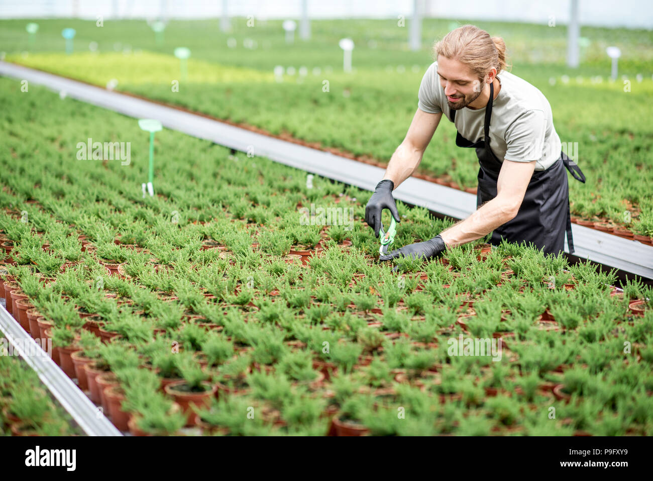 Worker with plants in the greenhouse - Stock Image