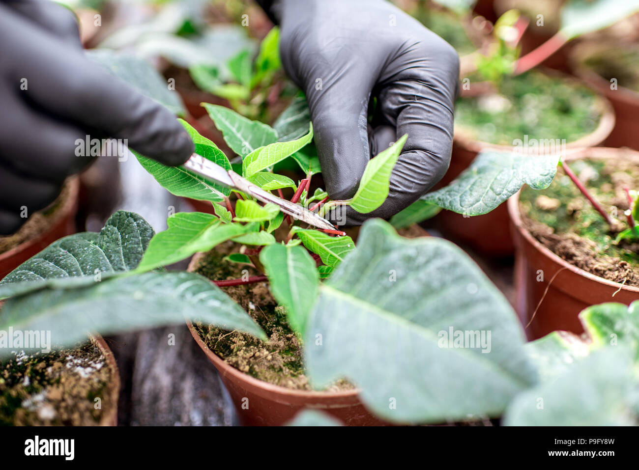 Cutting plants at the plantation - Stock Image