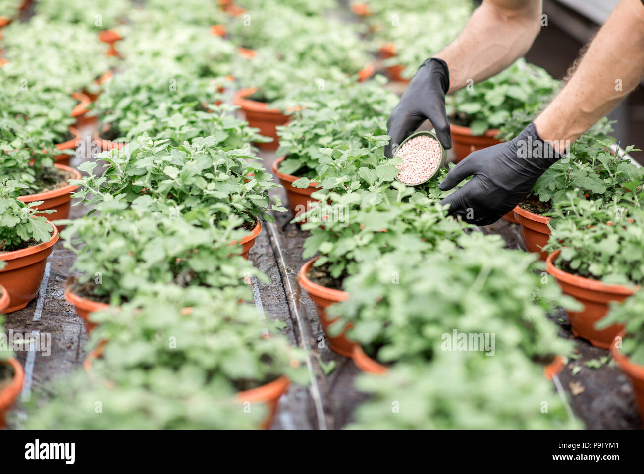 Fertilizing the plants - Stock Image
