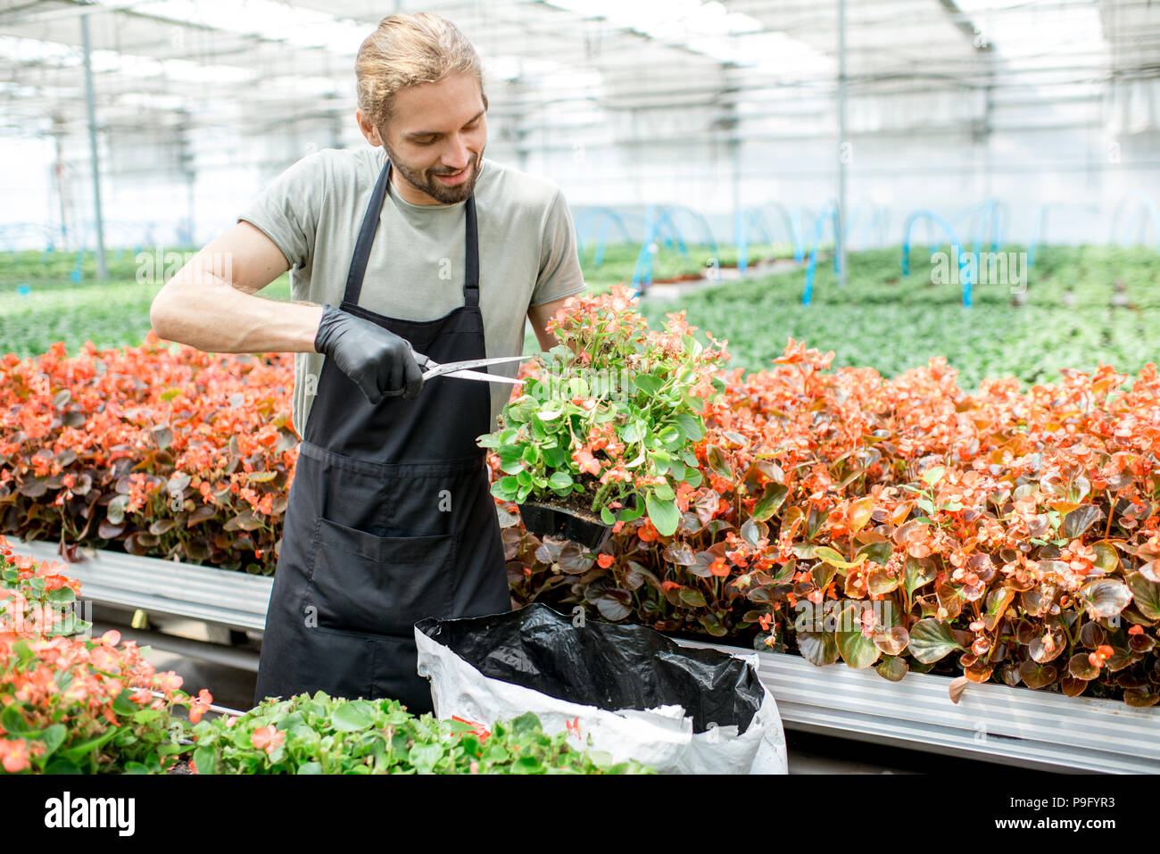 Man cutting flowers in the greenhouse - Stock Image