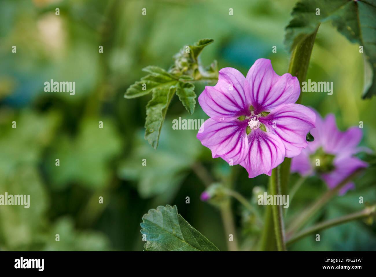 beautiful garden flower on green blurred background - Stock Image