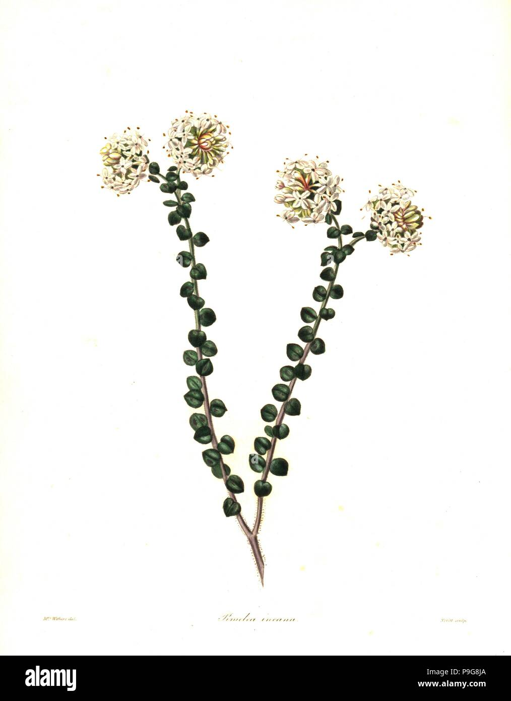 Pimelea nivea (Hoary pimelea, Pimelea incana). Handcoloured copperplate engraving by S. Nevitt after a botanical illustration by Mrs Augusta Withers from Benjamin Maund and the Rev. John Stevens Henslow's The Botanist, London, 1836. - Stock Image