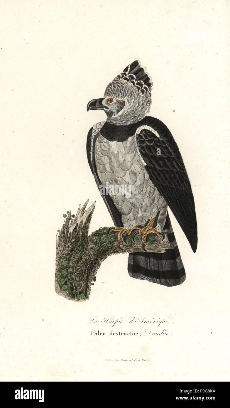 american harpy eagle harpia harpyja handcoloured copperplate