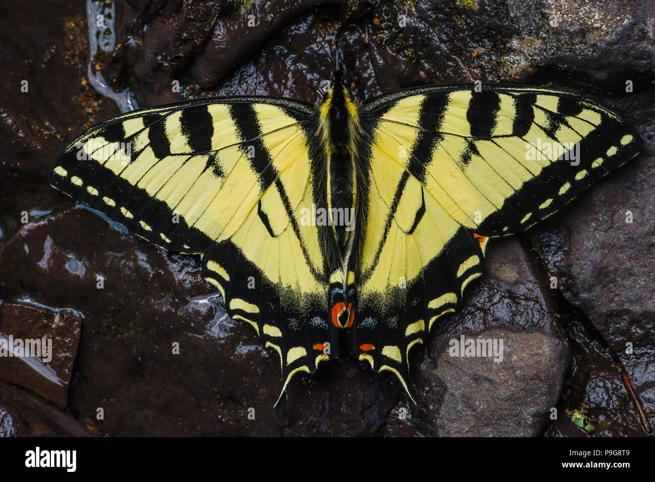 E. Tiger Swallowtail butterflies (Papilio glaucus) drinking water, Minnesota, USA, by Bruce Montagne/Dembinsky Photo Assoc Stock Photo