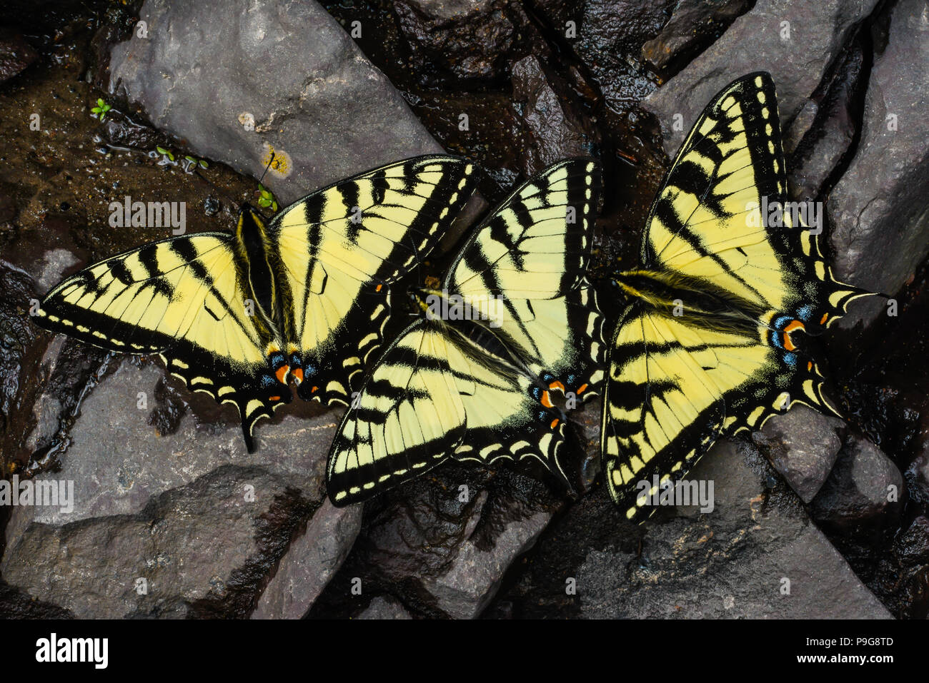 E. Tiger Swallowtail butterflies (Papilio glaucus) drinking water, Minnesota, USA, by Bruce Montagne/Dembinsky Photo Assoc Stock Photo