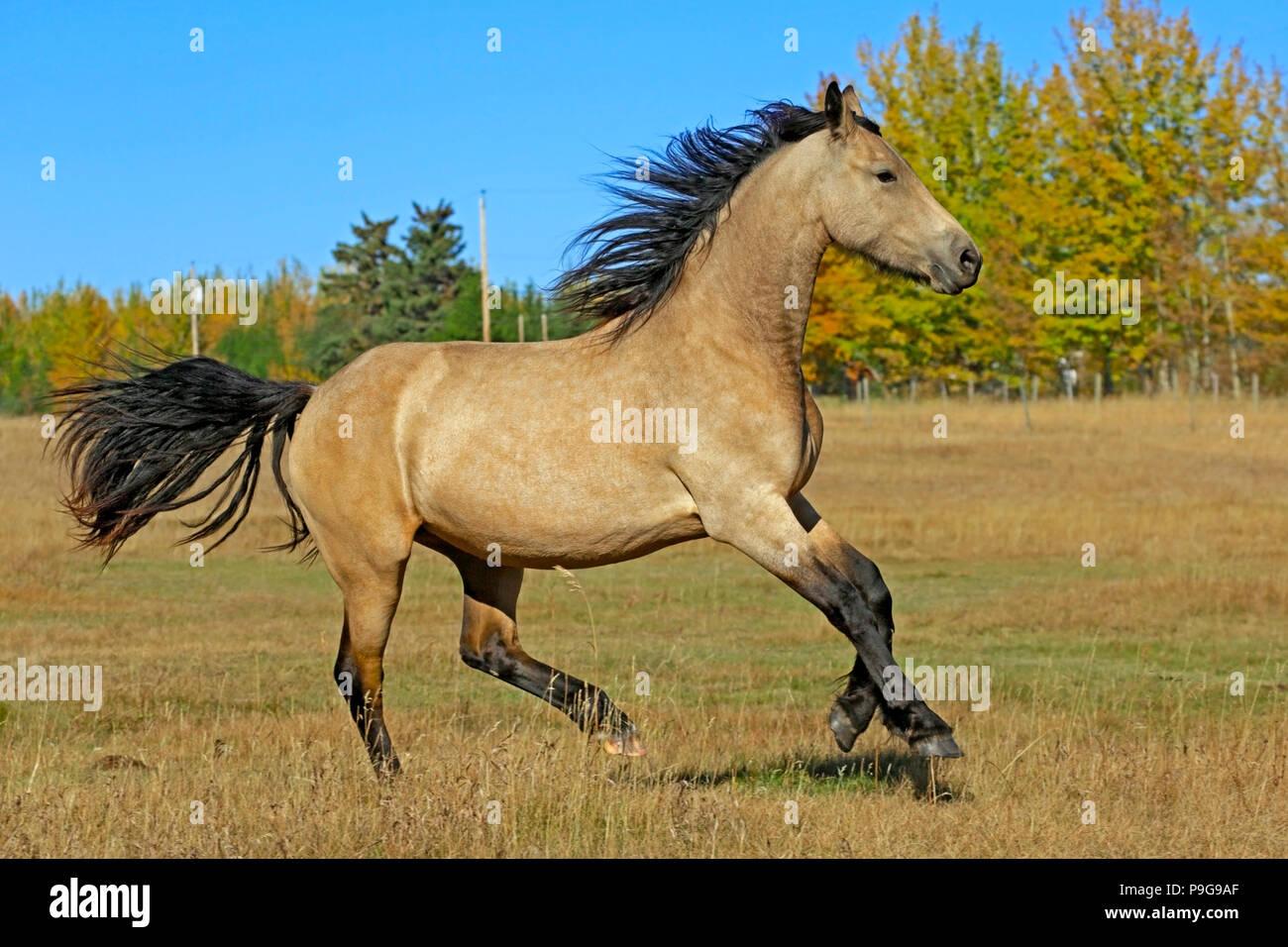 Beautiful buckskin Horse, partbreed Friesian Colt running ...