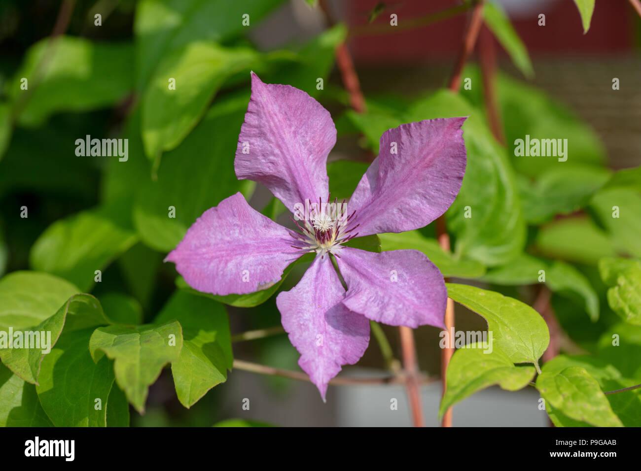 'Margaret Hunt' Late large-flowered group, Sena storblommig gruppen (Clematis) - Stock Image