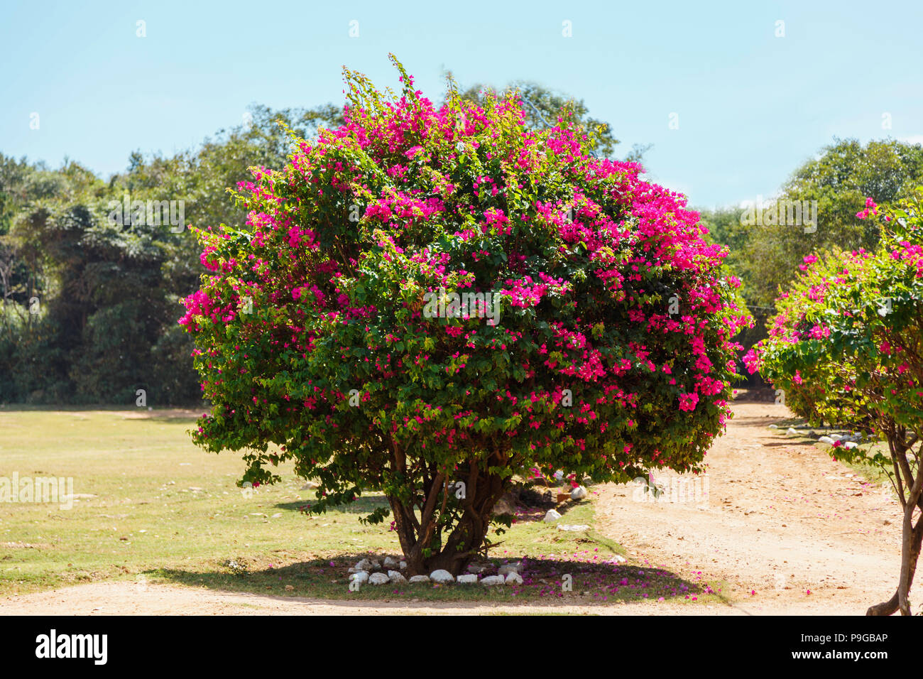 Large Flowering Bush With Pink Flowers In Gadren Natural Background
