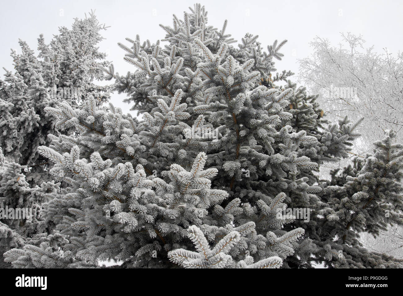 twig Christmas tree covered with hoarfrost - Stock Image