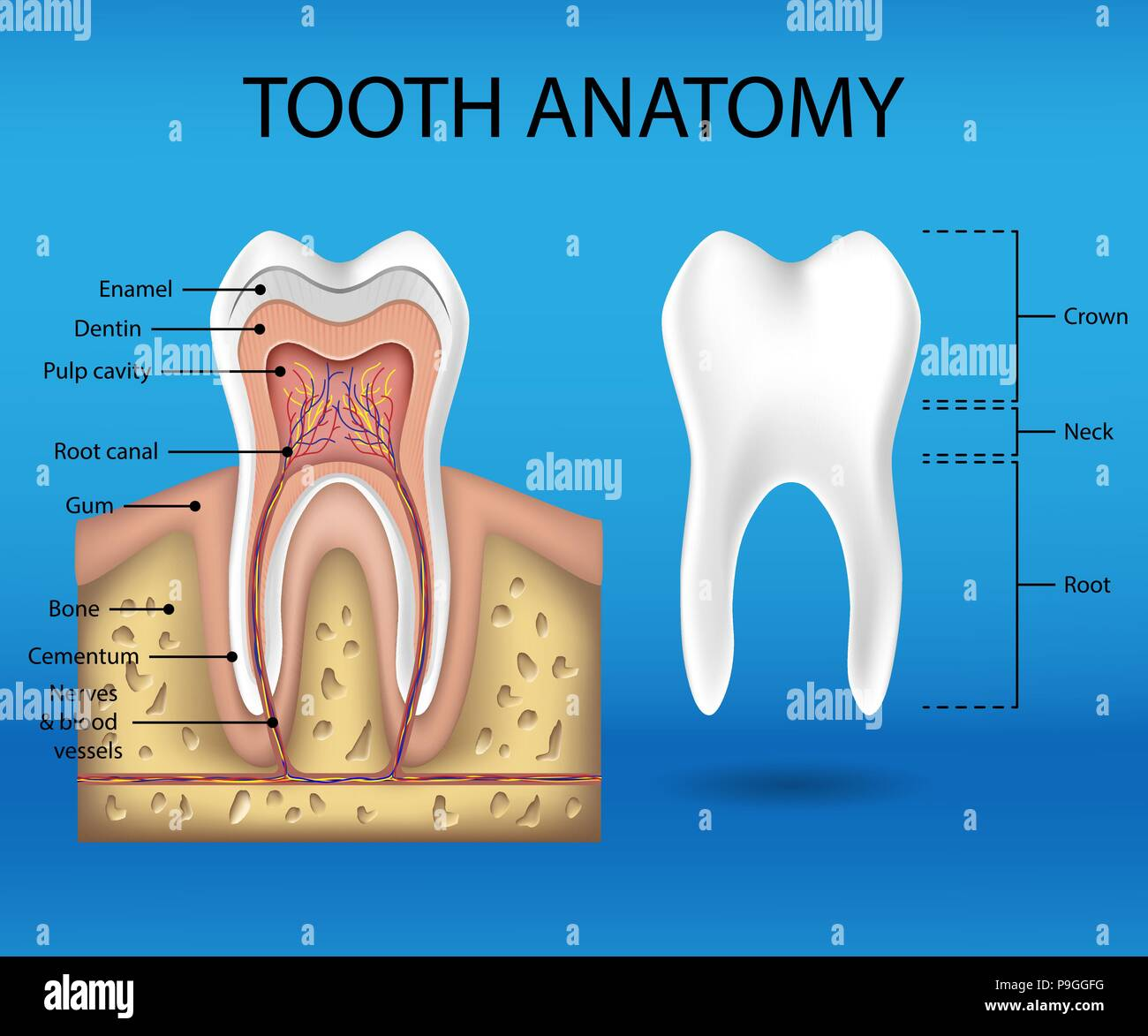 Tooth Anatomy Infographics Realistic White Tooth Mockup Dental