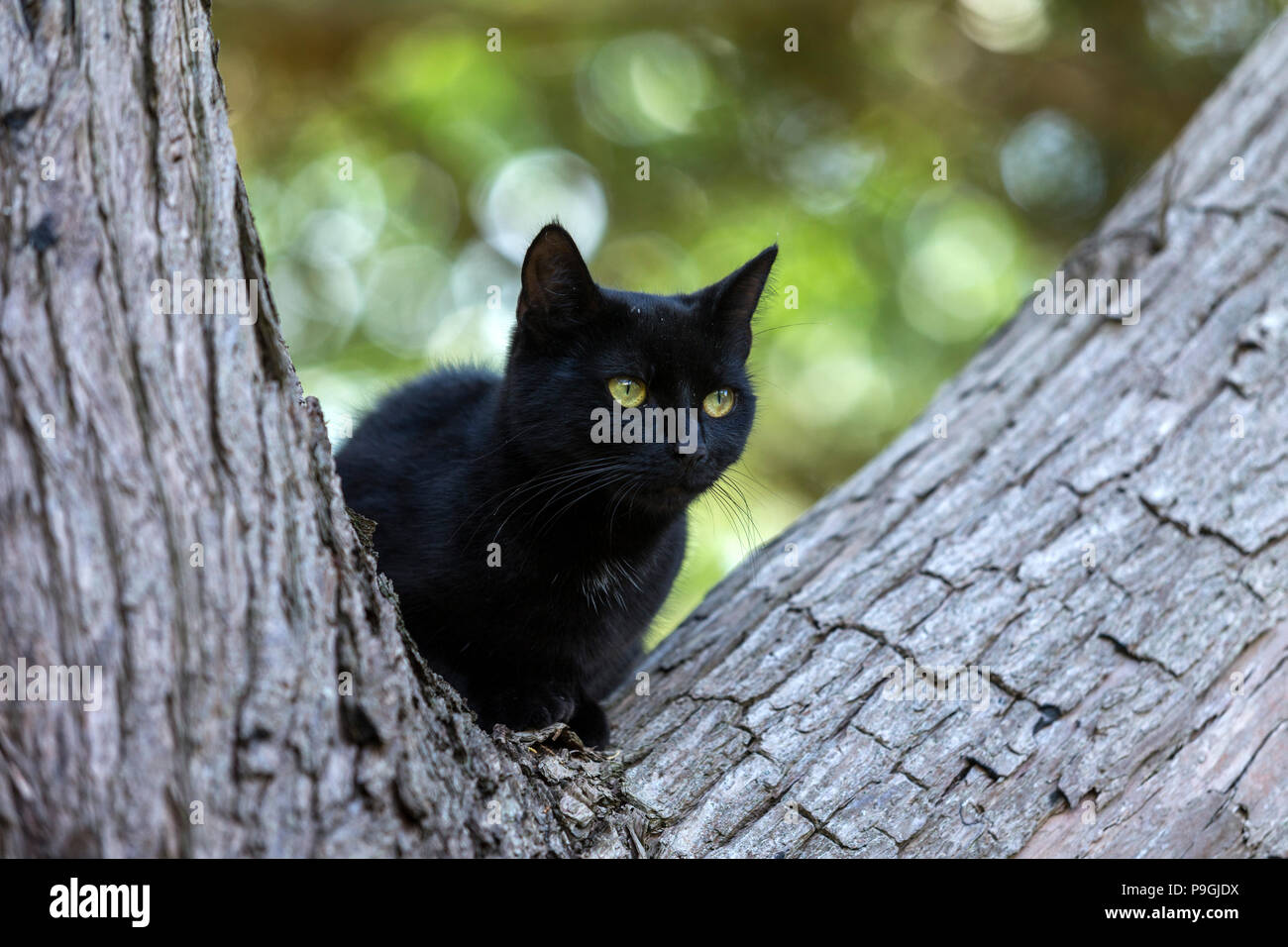 Black cat climbing a tree - between the branches of a Monterey Cyprus tree - Stock Image