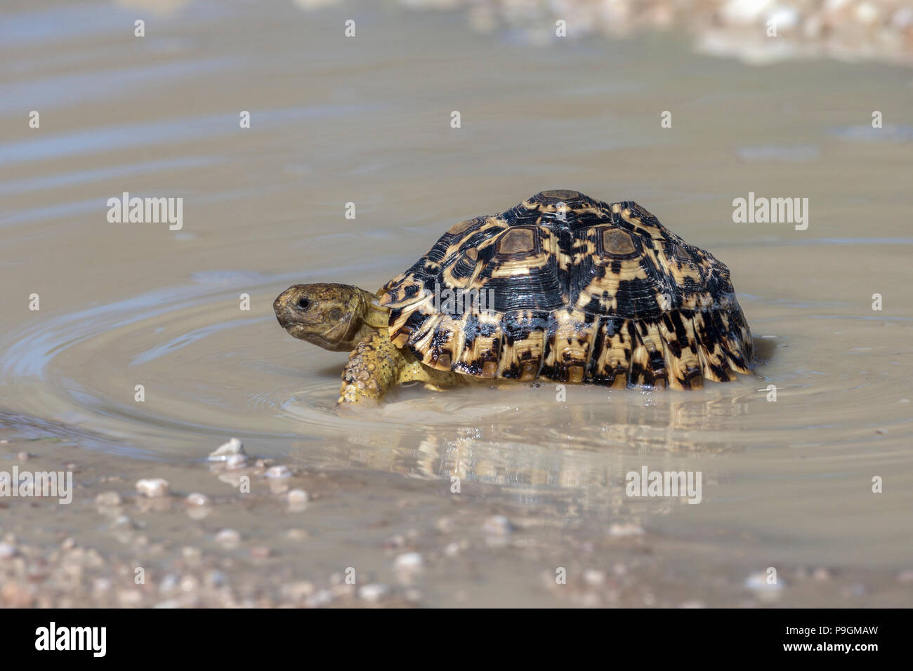 Leopard (mountain) tortoise (Stigmochelys pardalis) in puddle after rain, Kgalagadi transfrontier park, South Africa, - Stock Image
