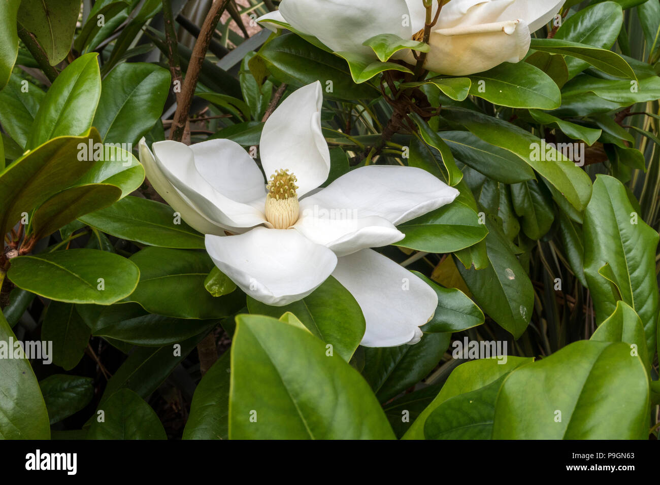 Enormous flower of a magnolia grandiflora Edith Bogue - Stock Image