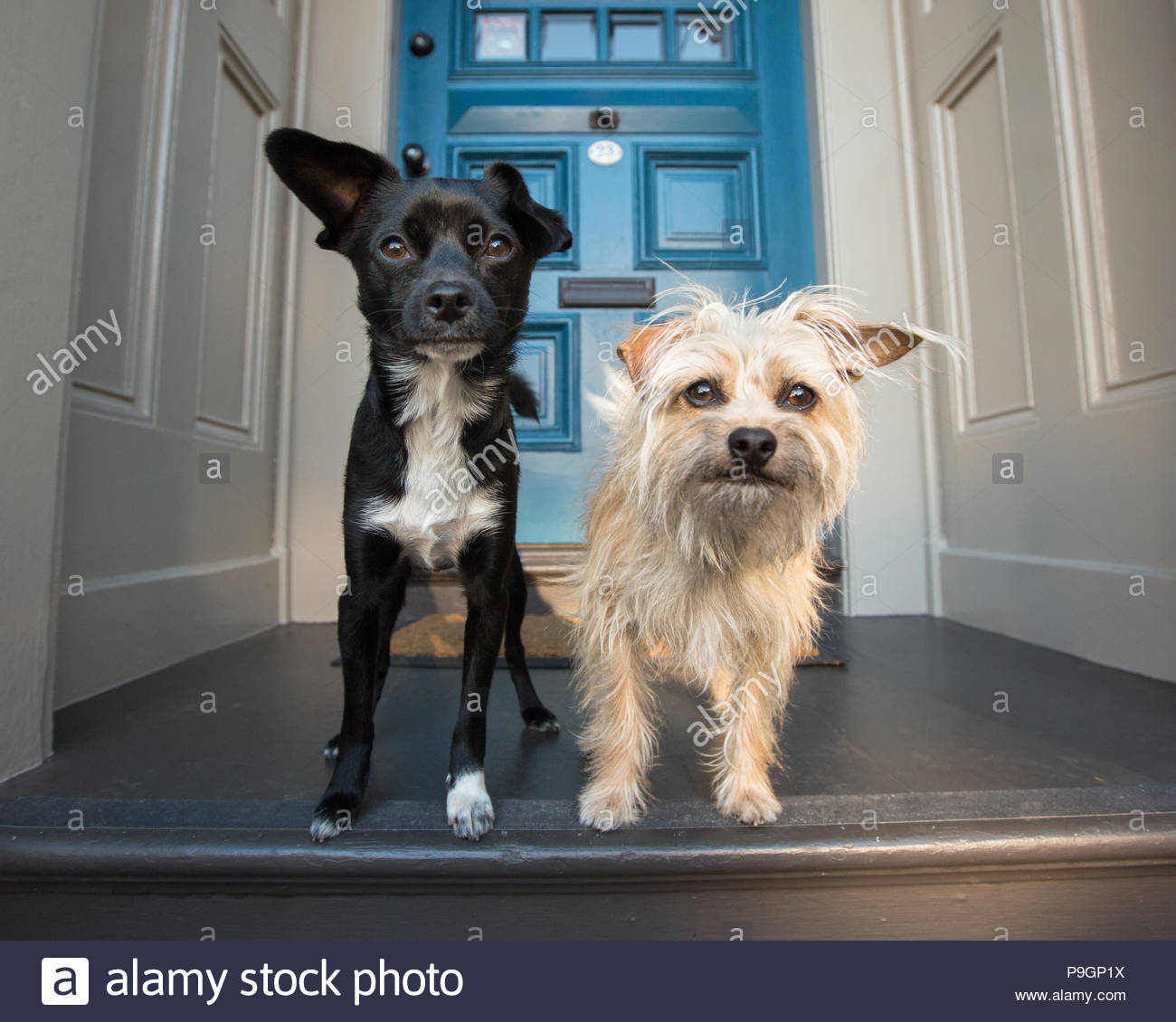 Small black terrier mix and small white terrier dog standing in front of blue door - Stock Image