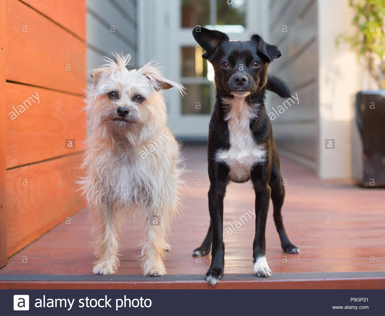 Two small terrier mix dogs with cute expressions standing on a porch - Stock Image