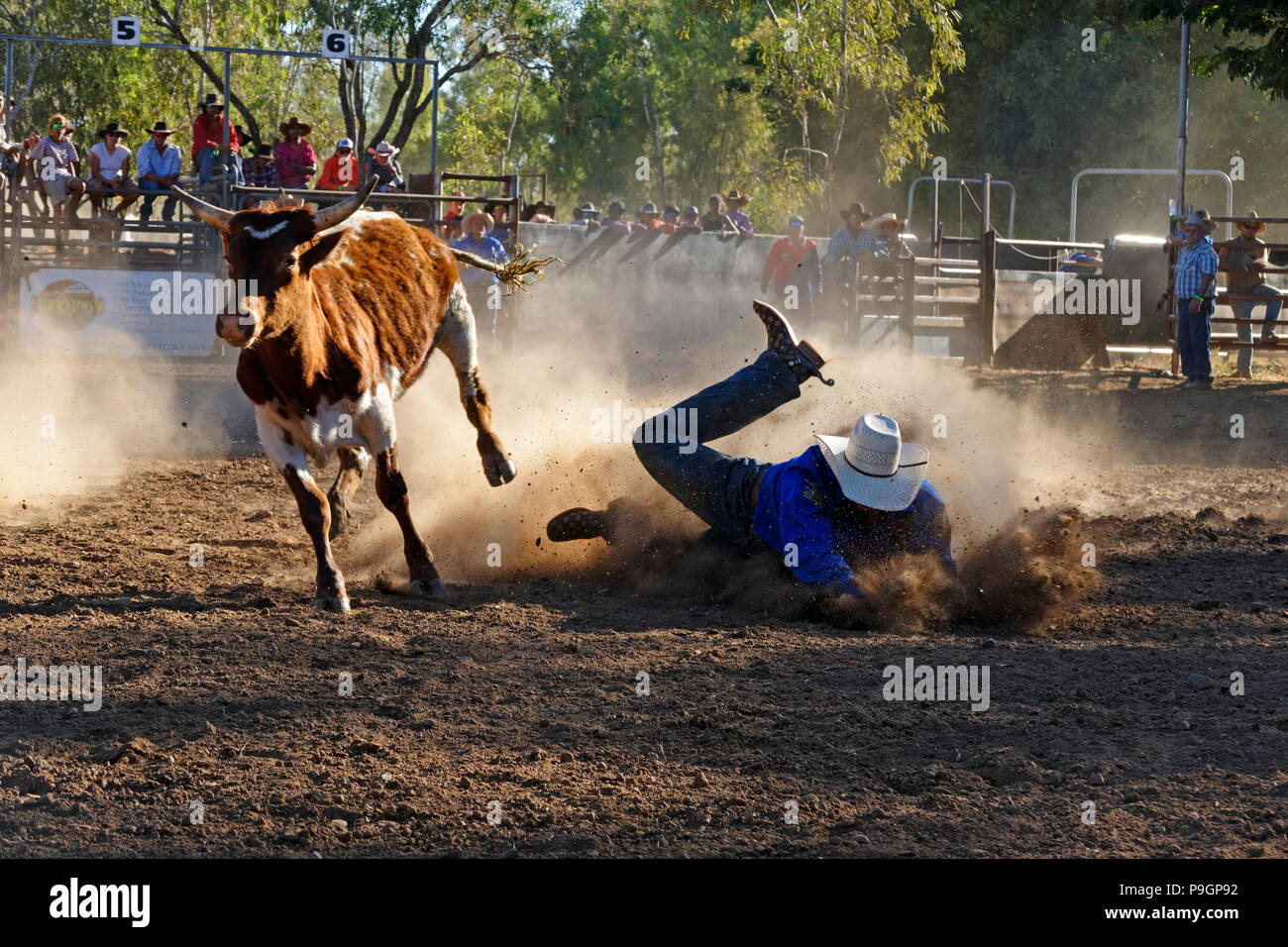 Cowboy falls to ground after tackling a steer, Fitzroy crossing, Kimberley,Northwest Australia - Stock Image