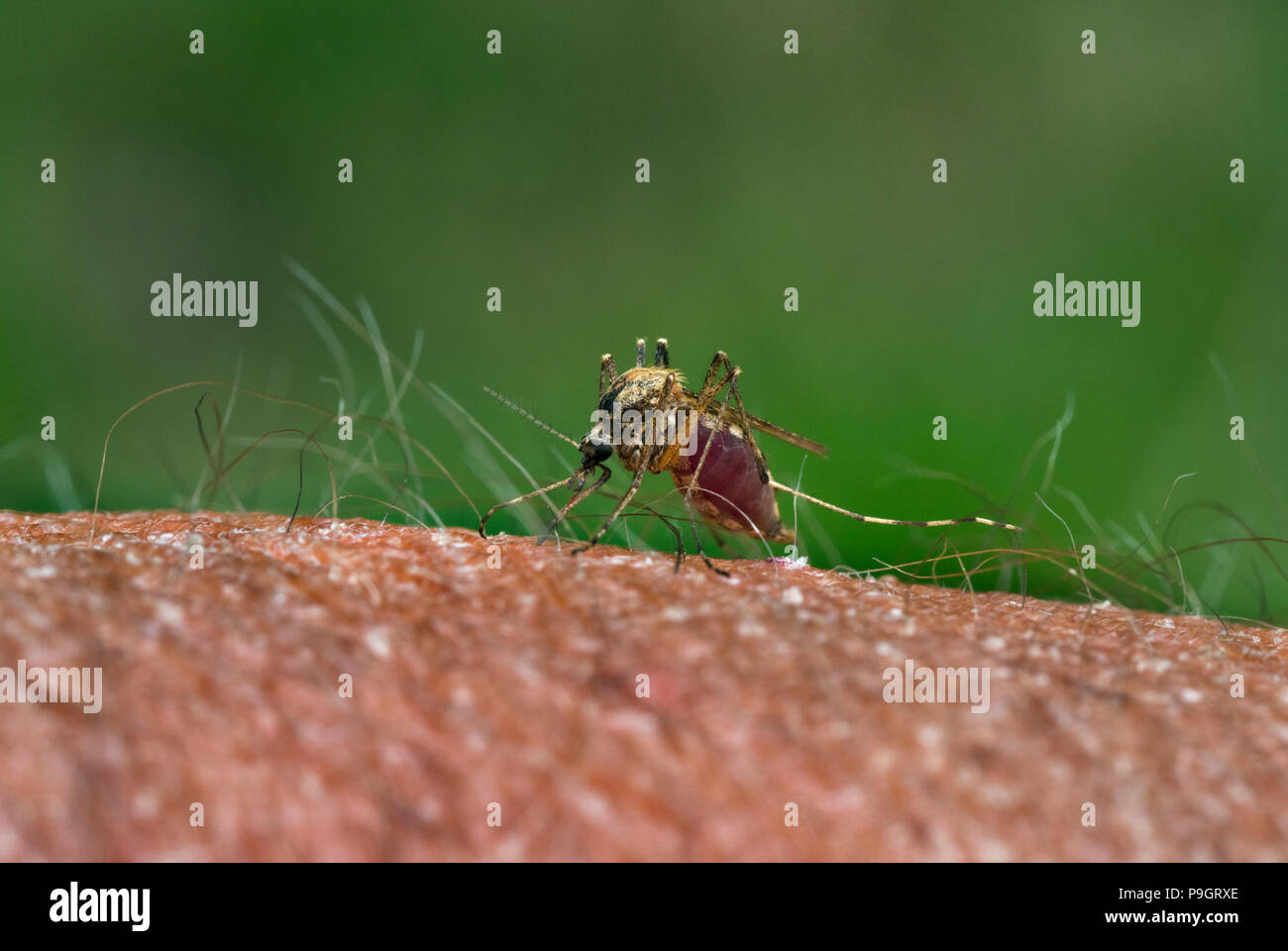 Mosquito Theobaldia annulata) sucking blood from human hand - Stock Image