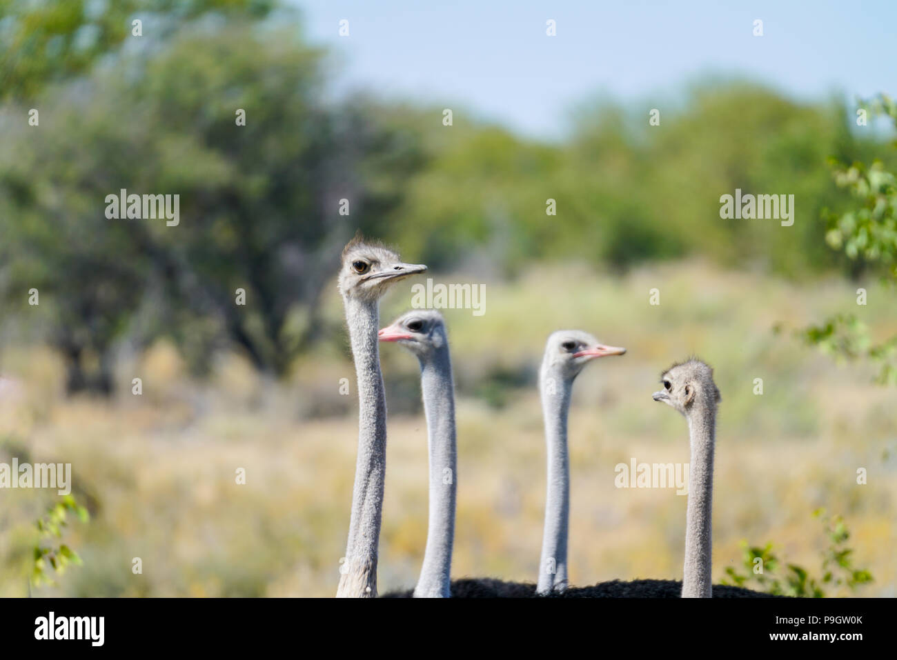 Small flock ostrich  males and females looking very goofy as they look around to see whats going on in bush in Namibia. - Stock Image