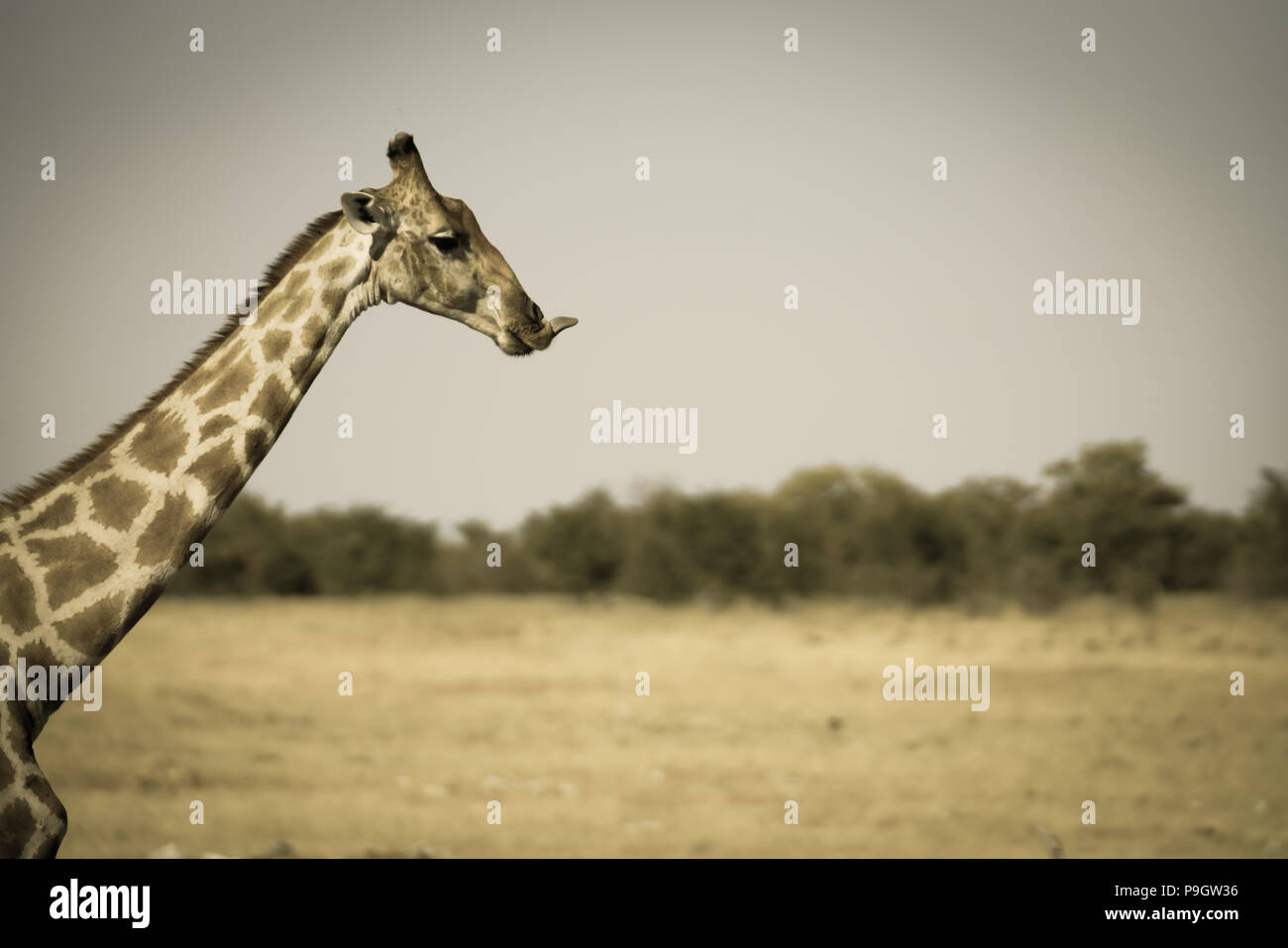 Giraffe portrait long neck above trees aged image style faded tones and vignette - Stock Image